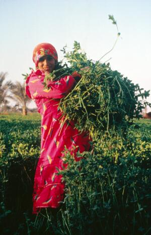 view Helwan, Egypt; harvesting sweet clover