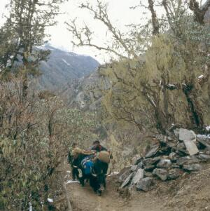 view Nepal; yak transport in the Khumbu, 1986. Sherpas drive a pair of heavily laden yaks along a narrow path on the long climb from Lukla (altitude 2827 metres) to Namche Bazar (3446 metres), the main town in the Khumbu region. The yak is the beast of burden in the Khumbu as well as providing wool, milk, cheese and butter. Yak butter is burned in votive lamps and drunk in tea. The animals command a high price and are carefully nurtured by their owners.