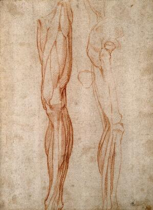 view The muscles of the leg