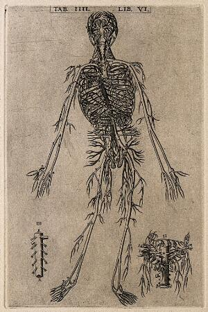 view The arterial system of the human body. Engraving, 1568.
