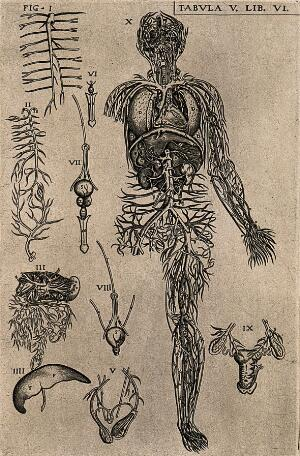 view The venous and arterial system of the human body with internal organs and detail figures of the generative system. Engraving, 1568.