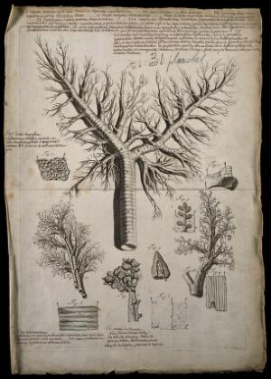 view The trachea (windpipe) and bronchi. Engraving after G. de Lairesse, 1739.