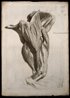 view Muscles of the shoulder, upper and lower arm. Engraving after G. de Lairesse, 1739.