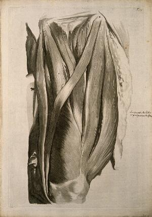 view The muscles of the left thigh, seen from the front. Engraving after G. de Lairesse, 1739.