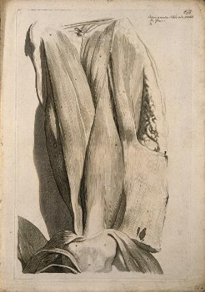 view Muscles of the thigh, seen from the front. Engraving after G. de Lairesse, 1739.