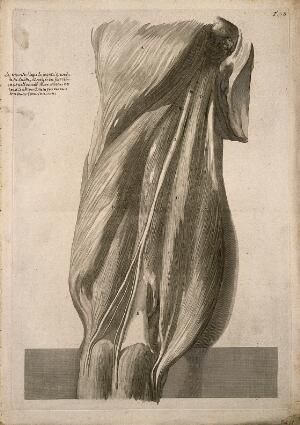 view A back view of the muscles of the thigh, intact but slightly separated from each other. Engraving after G. de Lairesse, 1739.