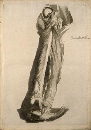 view A deep dissection of the muscles of the thigh. Engraving after G. de Lairesse, 1739.
