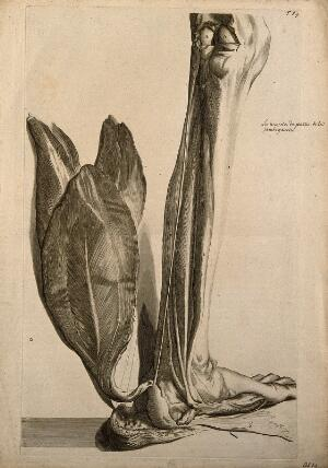 view The muscles of the back of the lower left leg. Engraving after G. de Lairesse, 1739.