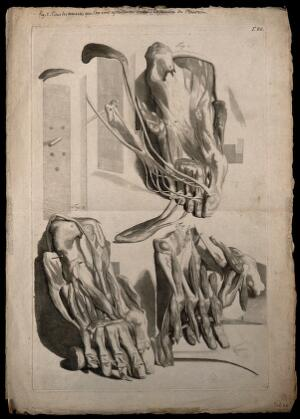 view Three figures of the muscles of the foot, showing the sole of the foot progressively dissected.