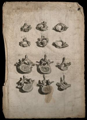 view Cervical, thoracic and lumbar vertebrae. Engraving after G. de Lairesse, 1739.