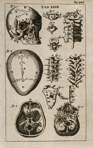 view The bones of the human skeleton: the skull and the vertebrae. Engraving, 1686.