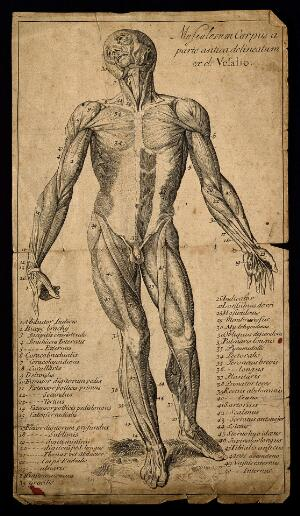 view A muscleman, seen from the front. Engraving, 1713, after a woodcut, 1543.