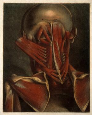 view Deep muscles of the head, neck and shoulders. Colour mezzotint by J. F. Gautier d'Agoty after himself, 1745-1746.