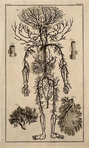 view Human arterial system. Engraving, 18th century, after engraving by M. Vandergucht after W. Cowper, for Drake, 1707.
