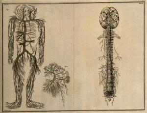 view The trunks of the vena cava, with their branches(Table VI, fig. 1); the trunks of the vena porta (Table VI, fig. 2), both after an engraving by M. Vandergucht after W. Cowper, 1702, after a preparation by G. Leoni, c. 1645; the brain, nerves and spine, after Eustachius, by 1552 (Table VII) Etching by I. Basire, 1743.