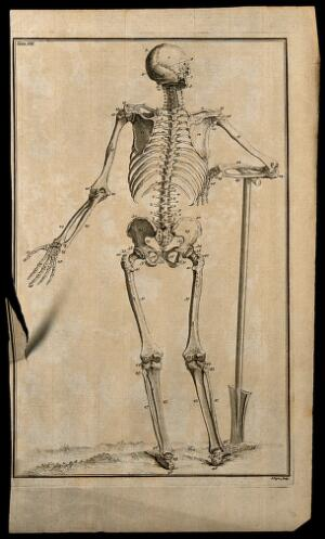 view A human skeleton, seen from the back, resting the bones of its right forearm on a spade handle, after Vesalius. Etching by I. Basire, 1743.