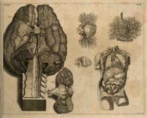 view The base of the brain with part of the medulla oblongata, the blood vessels injected with wax, and the cerebellum (Table XII, figs 1-2), after Cowper in Ridley (1695); the foetal heart, the larynx and the viscera (Table XIII), after an etching by G. Vandergucht in Cheselden (1740) Etching by I. Basire, 1743.