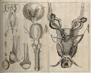 view The genito-urinary system, after Eustachius, Cheselden, and De Graaf. Etching, 1743.
