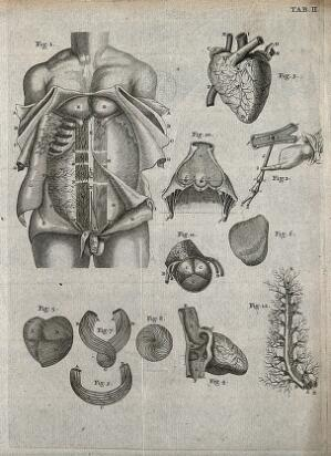 view The muscles of the abdomen; the heart, its muscles and the circulation of the blood. Engraving, 18th century.