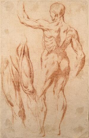 view An écorché with a raised left arm seen from the back; studies of the muscles of the right and left thighs, seen from the front. Red-chalk drawing, 17th century, after L. Cigoli.
