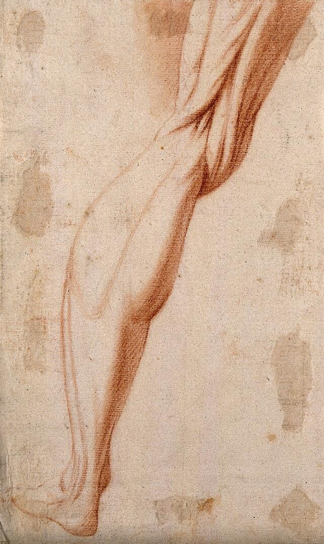 Muscles Of The Left Leg Red Chalk Drawing 17th Century Wellcome