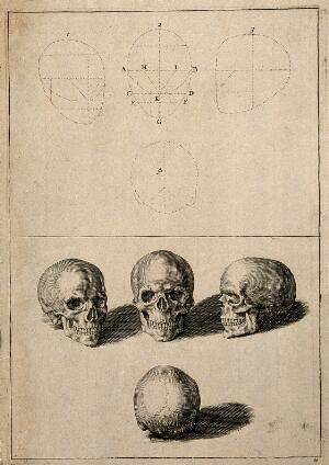 view Skulls: above, diagrams demonstrating the proportions of the human skull; below, four views of the skull. Line engraving.