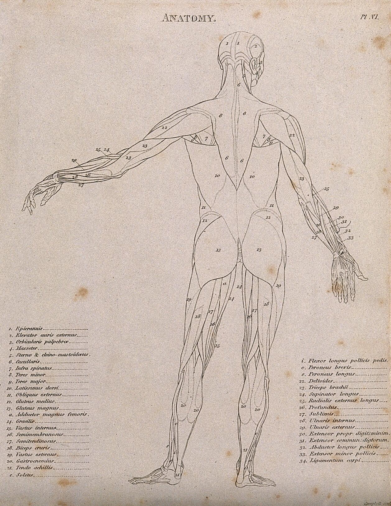 an écorché with left arm extended to the side, seen from the back: diagram  showing the outlines of the muscles  line engraving by campbell, 1816/1821