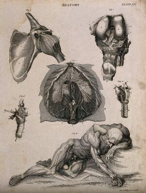 view Shoulder joint, larynx, peritoneum (?) and a reclining écorché supported by the left elbow and the outstreched right hand, seen from the front. Line engraving by Kirkwood & Sons, partly after W. Cowper, 1813.