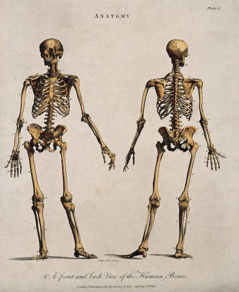 Human Skeleton Front And Back Views Coloured Line Engraving By J