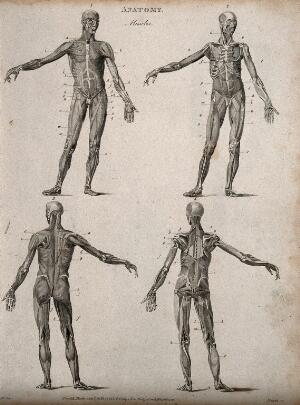 view Four écorché figures, front and back views. Line engraving by Heath, after Walker, 1806.
