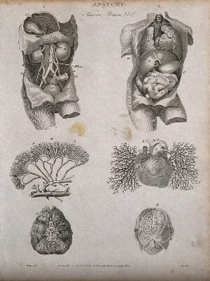 view Viscera, heart, brain and blood vessels: six figures, including two views of a dissected torso. Line engraving by Heath, after Walker, 1806.
