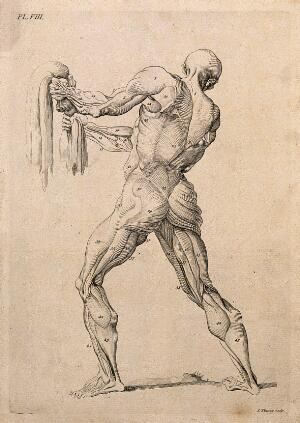 view An écorché figure gripping a piece of cloth, with left leg bent, seen from behind. Line engraving by J. Tinney, after W. Cowper, 1743.