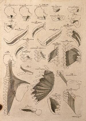 view Muscles of the neck and trunk: 24 figures. Line engraving by A. Bell after B.S. Albinus, 1777.