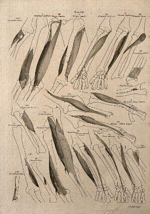 view Muscles and bones of the forearm and hand: 22 figures. Line engraving by A. Bell after B.S. Albinus, 1777.