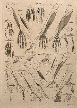view Muscles of the forearm and hand: 25 figures. Line engraving by A. Bell after B.S. Albinus, 1777.