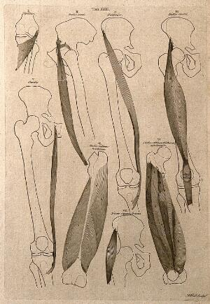 view Muscles of the knee and thigh: 8 figures. Line engraving by A. Bell after B.S. Albinus, 1777.