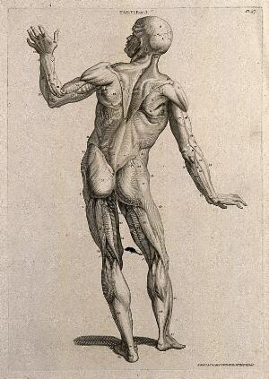 view A man, écorché, in the pose of an orator: posterior view. Line engraving by A. Bell after W. Cowper, 1798.