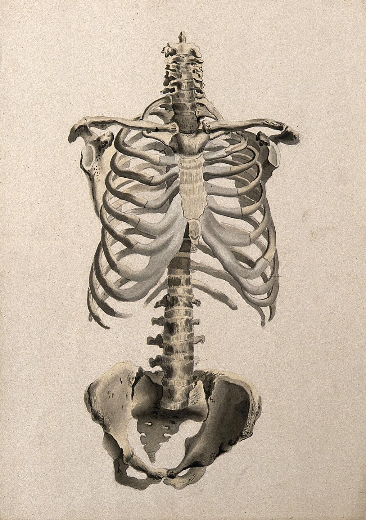 Bones Of The Torso Wellcome Collection