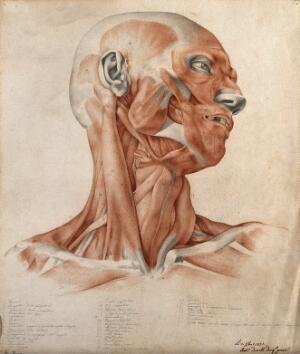 view Muscles and tendons of the head and neck: écorché figure. Red chalk and pencil drawing by A. Durelli, 1837.
