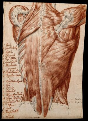 view Muscles and tendons of the back: écorché figure. Red chalk and pencil drawing by or associated with A. Durelli, ca. 1837.