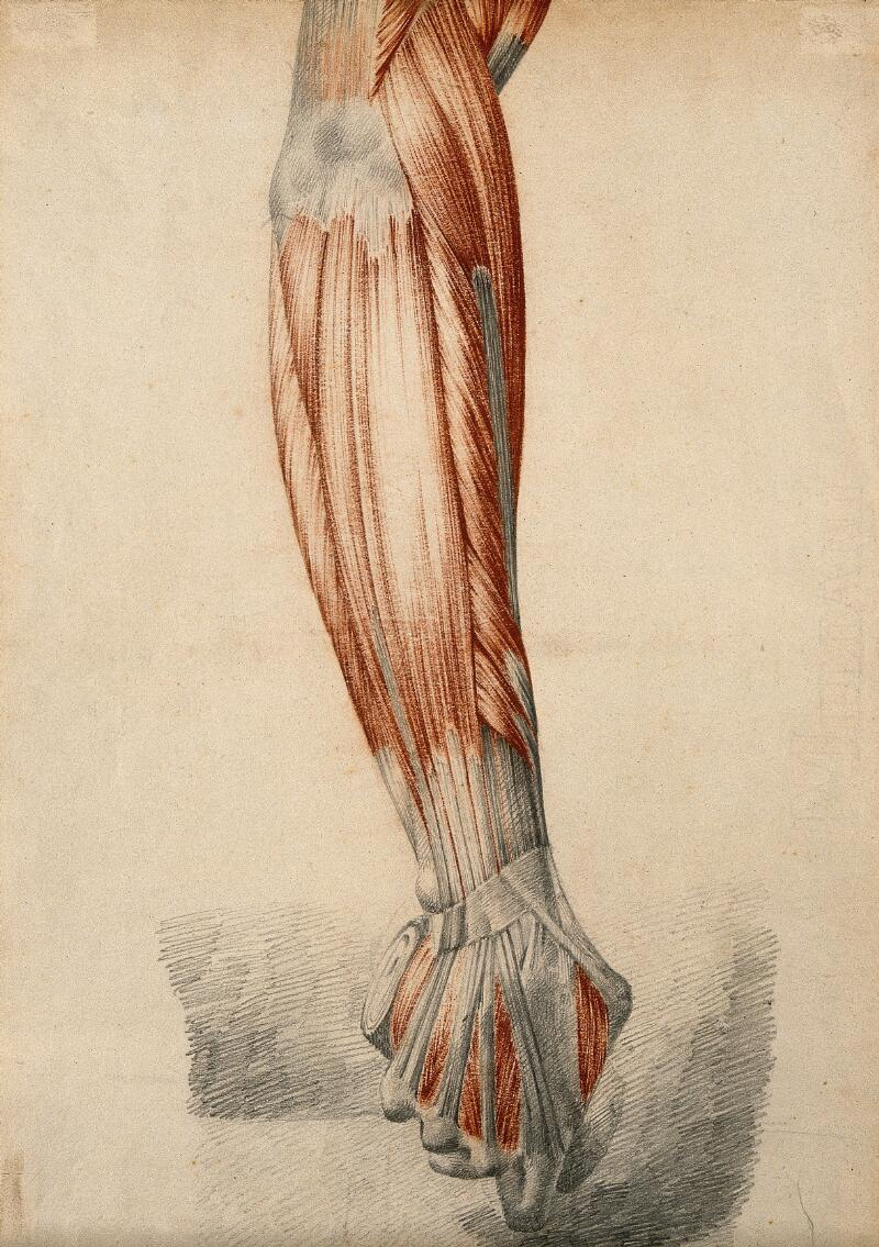 Muscles And Tendons Of The Arm And Clenched Fist Red Chalk And