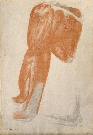 view Muscles and bones of the upper arm, shoulder and elbow: two figures. Soft orange crayon and pencil drawing by A. Durelli, ca. 1837.