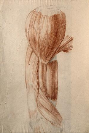 view Muscles of the upper arm and shoulder. Red chalk and pencil drawing by or associated with A. Durelli, ca. 1837.