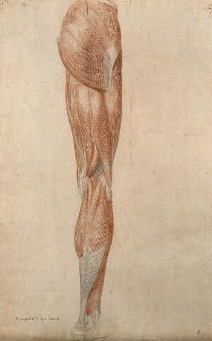 view Muscles of the leg. Red chalk and pencil drawing by A. Durelli, ca. 1837.