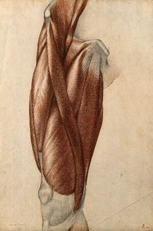 view Muscles and tendons of the thigh. Red chalk and pencil drawing by A. Durelli, ca. 1837.