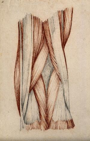 view Muscles and tendons of the knee-joint. Red chalk and pencil drawing by or associated with A. Durelli, ca. 1837.