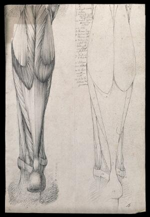 Muscles And Tendons Of The Lower Leg And Foot Seen From Behind Two Figures Showing Both Stylised Outline And Detailed Drawing Pencil Drawing By Or Associated With A Durelli Ca 1837