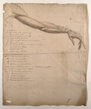 view The muscles of the arm and hand. Pen and ink, with pink and grey watercolour washes, by C. Landseer after B. Albinus, ca. 1815.