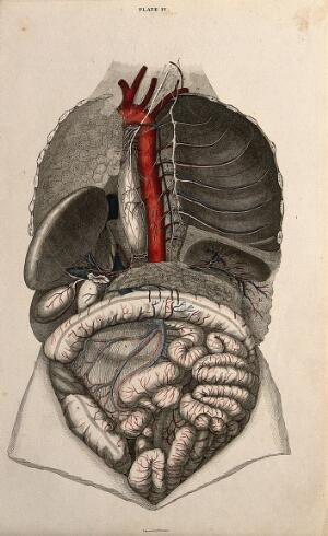 view Trachea and lungs: four figures with blood-vessels and nerves indicated in red and blue. Coloured line engraving by W.H. Lizars, 1822/1826.
