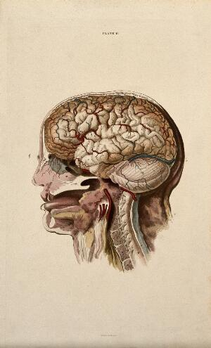 view Brain: dissection showing cross-section through head and neck, with lateral view of the brain. Coloured line engraving by W.H. Lizars, ca. 1827.